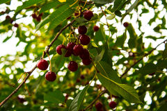 Cherry brunch on the tree in the garden Royalty Free Stock Photo