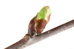Cherry bud Stock Photos