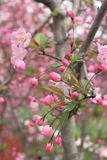 Cherry bud. Budding cherry blossoms in the spring buds Stock Photography