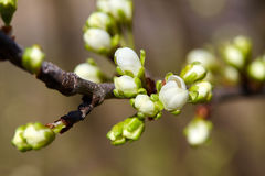 Cherry buds on a twig Royalty Free Stock Photos