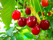 Cherry bunch Royalty Free Stock Image