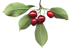 Cherry bunch with leaves. Four ripe cherries and leaves on pure white royalty free stock photos