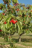 Cherry bunch on tree Stock Photos