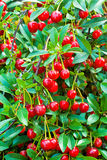 The cherry on the bush Royalty Free Stock Photography