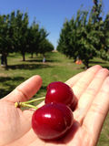 Cherry. Cherries picked at cherry farm Royalty Free Stock Image