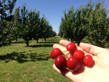 Cherry. Cherries picked at cherry farm Stock Photos