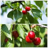 Cherry Stock Image
