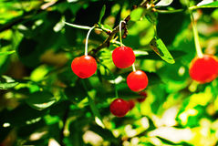 Cherry. Cherries on the tree. Cherry tree with fruits Royalty Free Stock Images