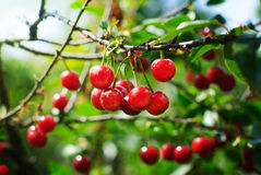 Cherry. Cherries on the tree. Cherry tree with fruits Stock Images