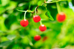 Cherry. Cherries on the tree. Cherry tree with fruits Royalty Free Stock Photography