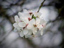 Cherry, Cherry Blossom, Flowering Royalty Free Stock Photo