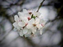 Cherry, Cherry Blossom, Flowering Royalty Free Stock Photo