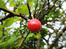 Cherry on a cherry tree. Red mellow cherry on a cherry tree Stock Photography