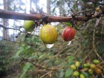 Cherry Coffee Attached op zijn Stam stock foto
