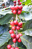 The Cherry coffee beans Royalty Free Stock Image