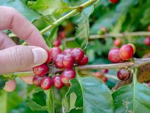 Cherry coffee beans hands harvesting, arabica coffee berries. Harvesting Royalty Free Stock Photography