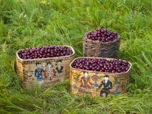 Cherry crop Stock Image