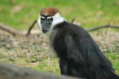 Cherry-crowned mangabey monkey Royalty Free Stock Image