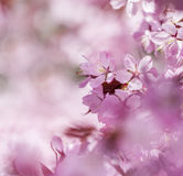 Cherry Dream. Cherry blossom in bloom on a branch Stock Images