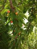 Cherry en för platta white sött Royaltyfri Foto