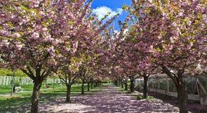 Cherry Esplanade Stock Image