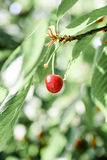 Cherry in the evening light, selective focus. Royalty Free Stock Photography