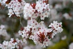 Cherry för 2 blomning Royaltyfria Bilder