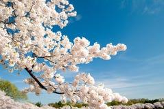 Cherry för 3 blomningar arkivbild