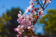 Cherry för 2 blomningar Arkivfoto