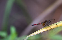 Cherry-faced Meadowhawk dragonfly rests on a branch Royalty Free Stock Photos