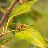 Cherry-faced Meadowhawk Dragonfy Eating Bug Royalty Free Stock Photography