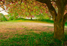 Cherry fall. Frosty morning Bowness-on-Windermere park of cherry blossom tree Royalty Free Stock Photo