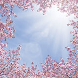 Cherry Fantasy. Cherry tree blossoming against blue sky Royalty Free Stock Photo