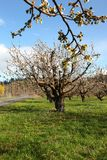 Cherry farm orchard near Hood River OR. Stock Photography