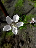 Cherry flover with green leaves Royalty Free Stock Photo