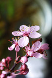 Cherry flower. Pink cherry flower Royalty Free Stock Photo