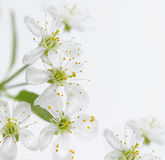 Cherry flower. White cherry flower closeup on white background Stock Image