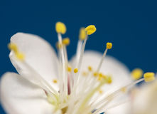 Cherry-flower Stock Image