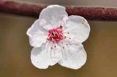 Cherry flower. Close up of the cherry flower Royalty Free Stock Photography