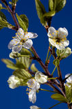 Cherry flower. Royalty Free Stock Photography