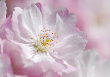 Cherry flower Royalty Free Stock Image
