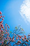 Cherry flower. On blue sky background Royalty Free Stock Photography