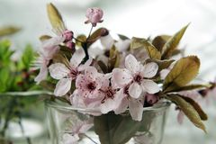 Cherry flower. In small vase Stock Photos