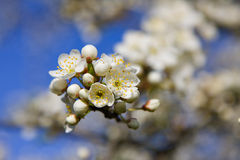 Cherry flower. With Blue Sky Royalty Free Stock Photo