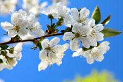 Cherry flower in April. Against the blue sky Royalty Free Stock Image