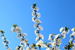 Cherry flower in April. Against the blue sky Stock Photo