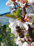 Cherry flower with a bee. White cherry tree flower with a bee working Stock Photography