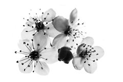 Cherry flower black and white Royalty Free Stock Photography