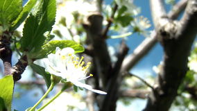 Cherry Flower In Bloom 06 stock video