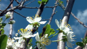 Cherry Flower In Bloom 04 stock footage